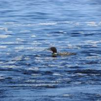 Beautiful loon fishing the exit waters of the Cascade River into Lake Superior